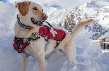 Golden lab rescue dog in the snow with rescue vest
