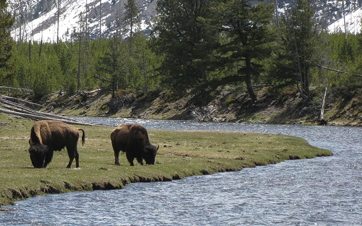 Two bison near a river in yellowstone