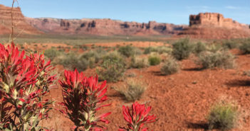 Bears Ears scenic shot with Indian paintbrush flowers in foreground