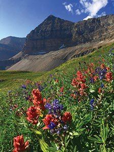 Mount Timpanogos and mountain wild flowers