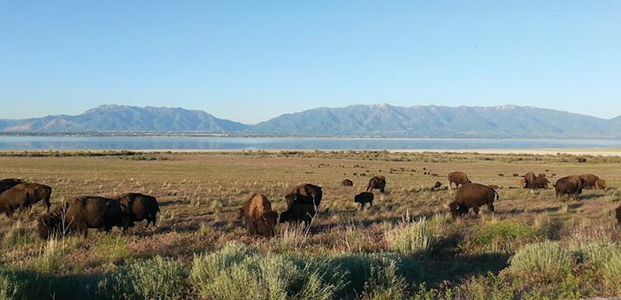 Bison herd on Antelope Island