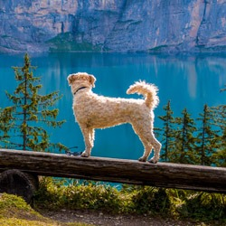 dog near a mountain and lake scene
