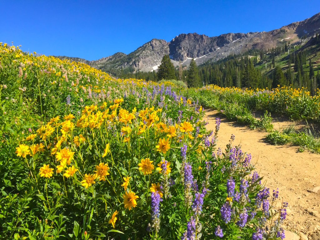 Wildflower hiking at Alta resort