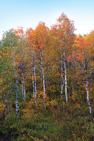 Aspen tress in fall with green, orange, and yellow leaves