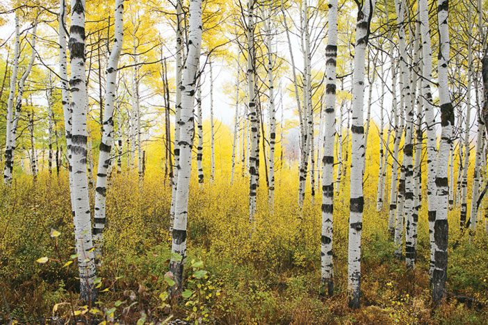 Aspen trees in the Fall with yellow leaves