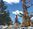 Two woman standing next to Bristlecone trees