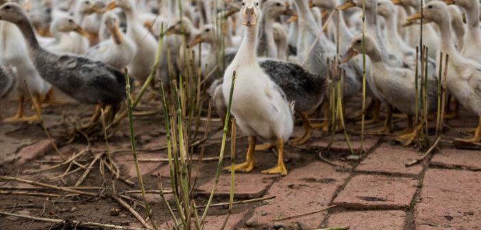 ethical down ducks