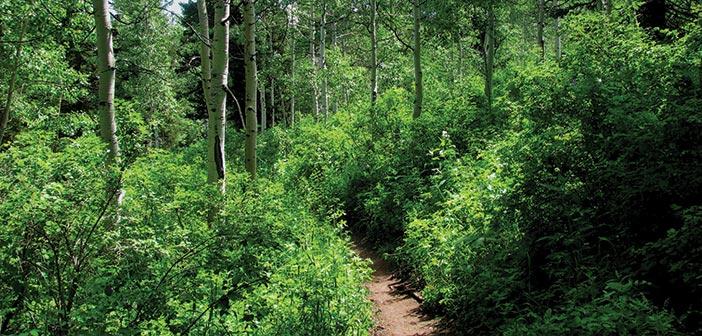 Trail into an aspen and fir grove, Uinta National Forest, Utah.