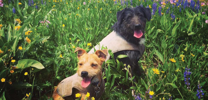 2 dogs in a wild flower field
