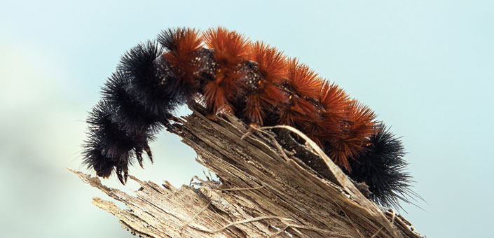 Wooly Bear Caterpillar on a wooden branch