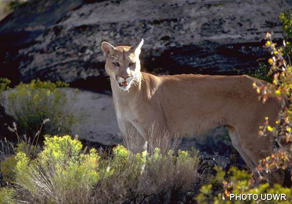 WATCH: Wild Mountain Lion Encounter in Provo, Utah